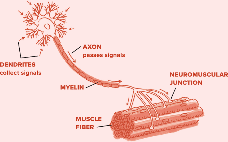Diagram of dendrites collecting signals and passing them along an axon made up of myelin to muscle fibers via the neuromuscular junction.